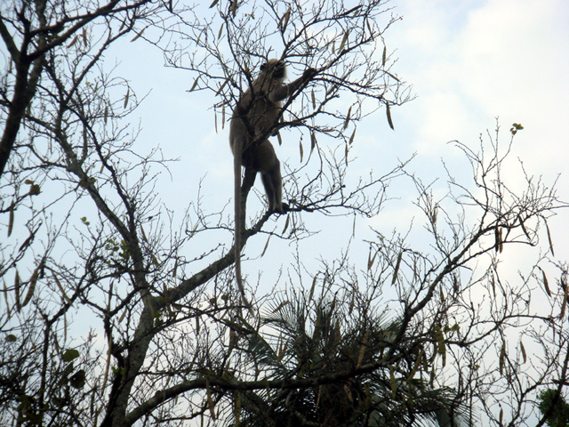 A Grey Langur watches over